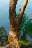 Tree Trunk over the Lake Water Stock Photo