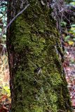 Tree trunk overgrown with moss Stock Photography