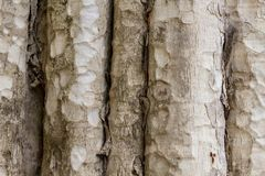Tree trunk photo texture. Natural wood background. Pale timber with weathered bark. Faded wooden backdrop. Rustic tree trunk surface. Tropical tree texture stock images