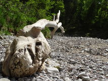 Tree trunk on the riverbed from the river Walchen Sylvenstein lake Stock Image