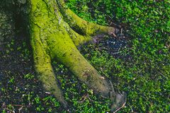 Tree trunk and roots covered in intensively green moss Stock Photography