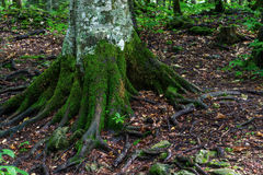 Forest trunk roots Stock Image