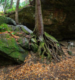 Tree And Roots. A Tree Trunk And Roots On A Large Boulder In Autumn At The Scenic Old Man's Cave State Park Of Central Ohio, Hocking Hills Region, USA Stock Images