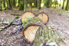 Tree trunk sawed. Into fire logs Royalty Free Stock Image