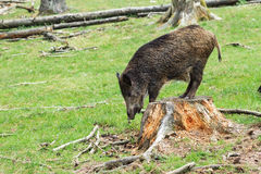 Tree trunk scrofa Stock Photo