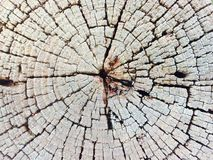 Tree trunk section Royalty Free Stock Photo
