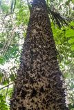 Tree trunk with spines functioning as a defense in Manu National Park, Boliv. Ia stock photos