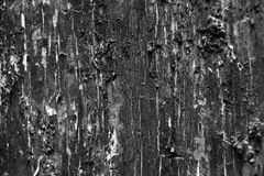 Tree trunk structure. Black and white photography with tree trunk peel Stock Images