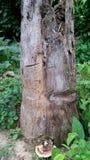 Tree trunk. Stump tree lingzhi garden Royalty Free Stock Photo