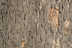 A  tree trunk surface Royalty Free Stock Photos