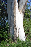 Tree trunk of a tall Eucalyptus tree in Laguna Woods, California. Royalty Free Stock Images