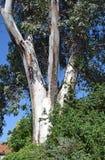 Tree trunk of a tall Eucalyptus tree in Laguna Woods, California. Royalty Free Stock Photo