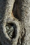 Tree trunk texture with knot. Close up of a tree trunk texture with knot from a cut out branch Stock Photography