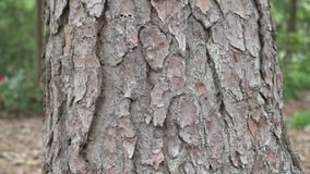 Tree Trunk Texture. Pine. Background stock video footage
