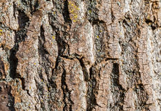 Tree trunk texture. Woody tree trunk bark texture Stock Photography