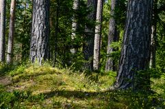 Tree trunk textures in natural environment. Natural environmental detail view in latvia royalty free stock images