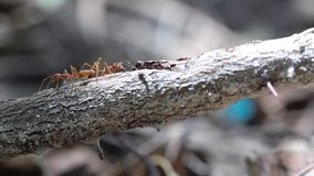 Ant on stick. On a tree trunk there are several ants stock footage