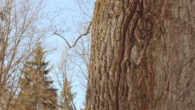 Tree trunk. Tree bark. Closeup. Oak tree in winter. Tree in winter forest. Macro. Panorama of old oak tree in winter forest. Close up. Strong oak tree. Tall stock video footage