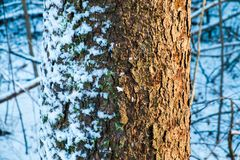 Tree trunk. Covered with snow Royalty Free Stock Image