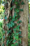 Tree trunk. With vines and ivy Stock Image