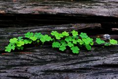 Tree trunk with a trefoil clover growing on it royalty free stock photography
