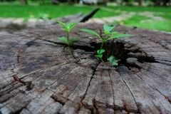 Plant growing through of trunk of tree stump. Tree trunk with a trefoil plant growing on it. Plant growing through of trunk of tree stump Royalty Free Stock Images