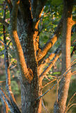 Tree trunk under sunset light Royalty Free Stock Photography