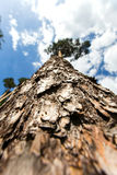 Tree trunk view from below Stock Photo