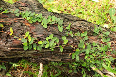 Tree trunk with vines Stock Photos