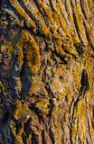 Tree trunk of a white willow. Salix alba, with moss and lichen in evening sun royalty free stock photos