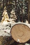 Tree trunk in winter Stock Image