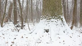 Tree trunk in the winter time. A tree trunk covered with snow stock video footage