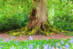 Tree Trunk in Wood. Close up of the moss covered trunk of a mature tree in a bluebell wood Stock Photography