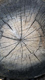 Tree trunk wood gray texture. Gray wood texture of a tree trunk cut Royalty Free Stock Photo