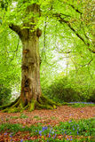 Tree Trunk in Woodland. A mature tree in woodland during Spring Stock Photos