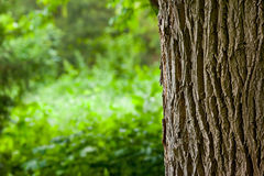 Tree trunk in the woods. Tree trunk closeup and blurred meadow background Royalty Free Stock Photos
