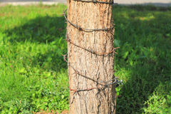 Tree trunk, wrapped in barbed wire. Barbed wire wrapped around a tree trunk Stock Photo