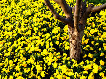 Tree Trunk with yellow flowers. Tree trunk and beautiful yellow flowers in graden Royalty Free Stock Image