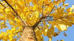 Tree trunk with yellow leaf on the sky background. Shot of treetops in autumn. Tree trunk with yellow leaf on the sky background. Motion camera panorama stock video