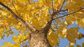Tree trunk with yellow leaf on the sky background. Shot of treetops in autumn. Tree trunk with yellow leaf on the sky background. Move the camera to the top stock footage