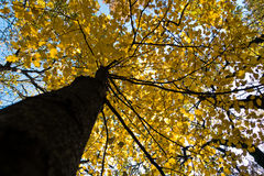 Tree trunk with yellow leaves against blue sky in autumn, Kosutnjak forest, Belgrade Royalty Free Stock Image