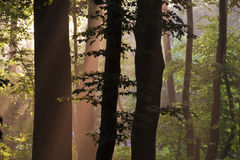 Tree trunks. Light shining through tree trunks in forest Royalty Free Stock Photos