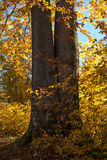 Tree trunks. Surrounded by yellow foliage Royalty Free Stock Photos