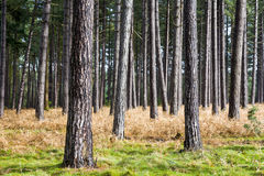 Tree Trunks. Pine tree trunks in Thetford Forest in East Anglia, UK stock photography