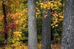 Tree Trunks in Autumn Stock Photo