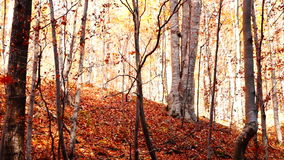 Tree trunks in autumn with falling copper-coloured leaves stock video footage