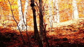 Tree trunks in autumn with falling copper-coloured leaves stock footage
