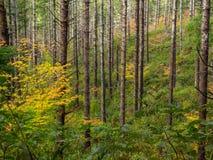 Tree trunks on autumn mountain side Royalty Free Stock Photos