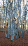 Tree trunks in beech forest Stock Photography