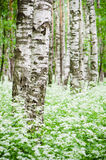 Tree trunks in a birch forest and wild flowers Royalty Free Stock Photo